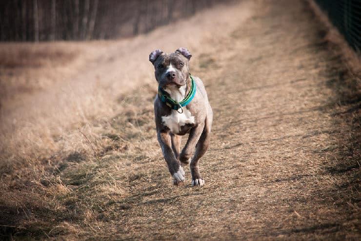 American Staffordshire Terrier running