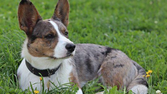 Cardigan Welsh Corgi dog breed