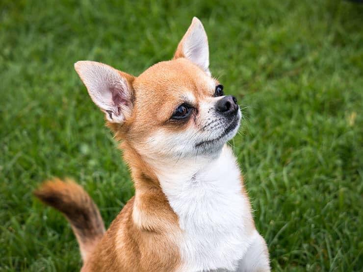 Chihuahua appearance