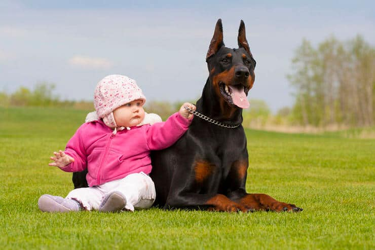 Doberman with kid