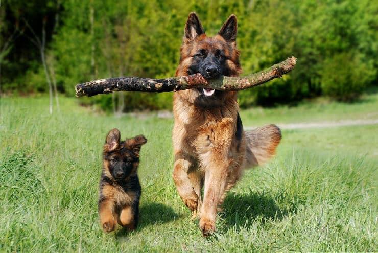 German Shepherd adult with puppy