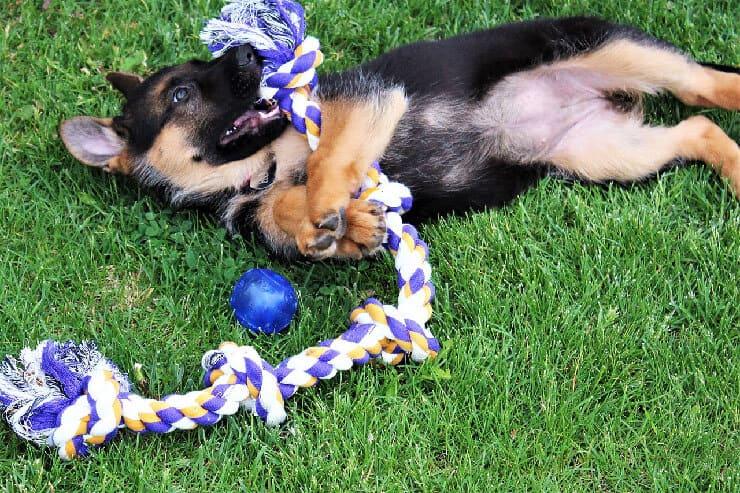 German Shepherd cute puppy playing