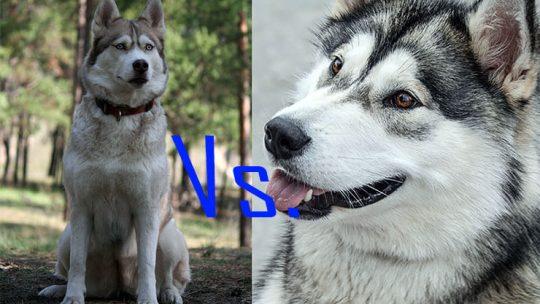 Husky Vs. Malamute difference