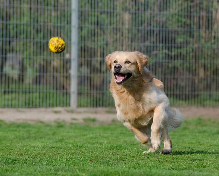 Big dog runs