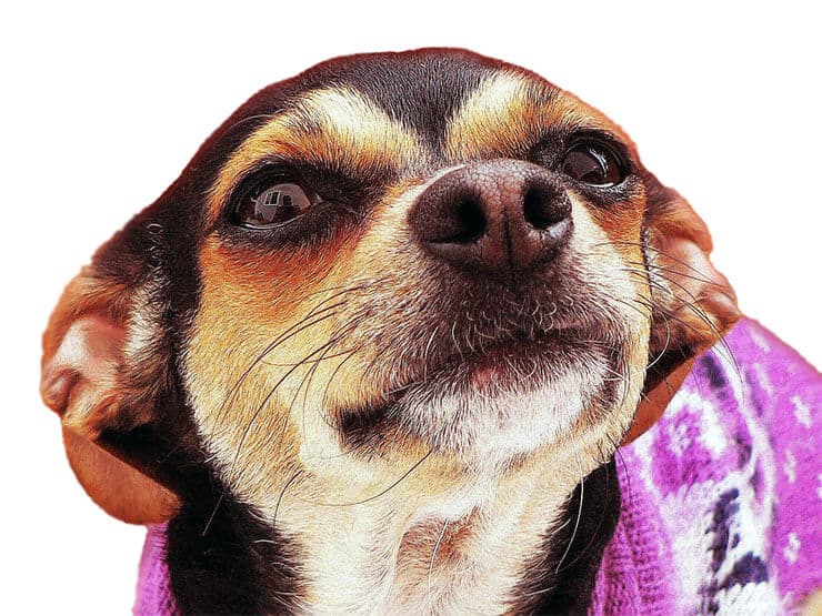 Chihuahua with hanging ears