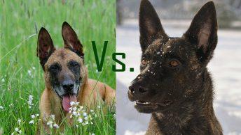 Dutch Shepherd vs. Belgian Malinois