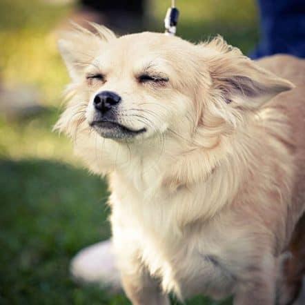 Reading Chihuahua ears