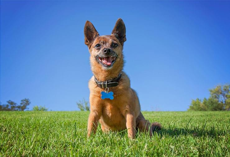 German Shepherd Chihuahua Mix exercising