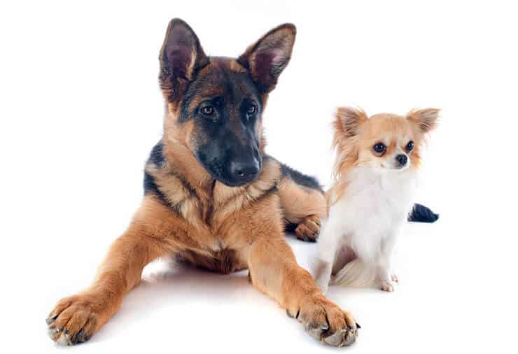 German Shepherd Chihuahua Mix temperament