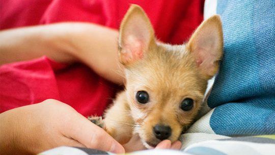 How to take care of a Chihuahua