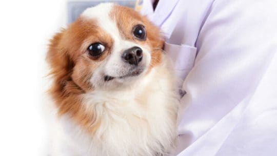 Most common Chihuahua health issues