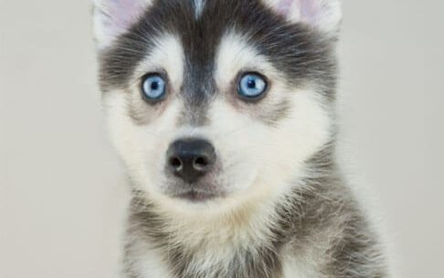 Small dogs with blue eyes