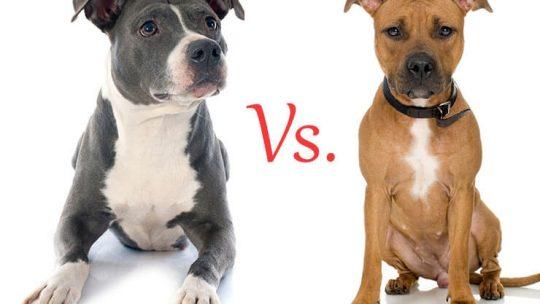 American Staffordshire Terrier vs Pit Bull