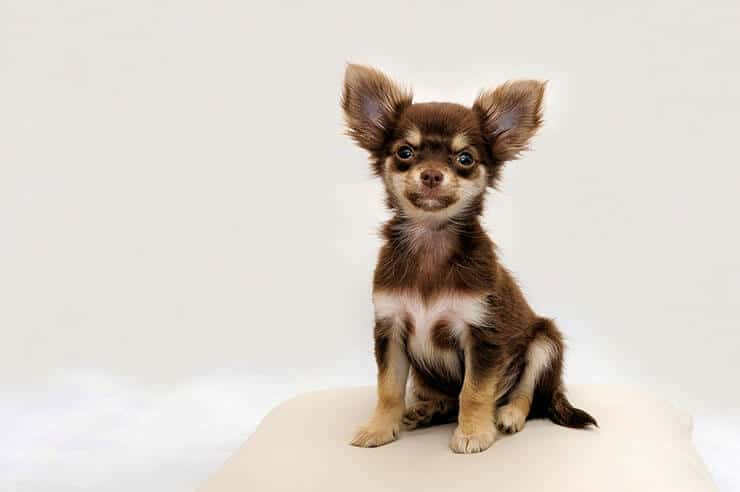 Are you looking for chocolate Chihuahuas