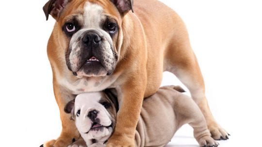 How long are bulldogs pregnant