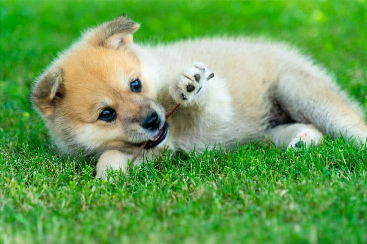 How much does a Pomsky cost