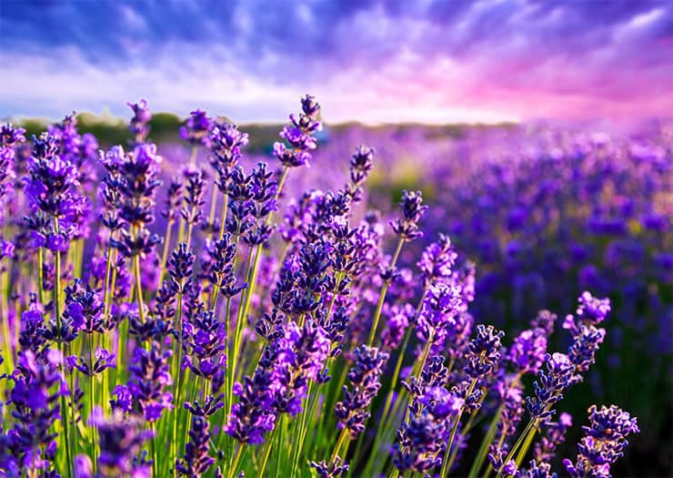 Lavender flea repelling plants