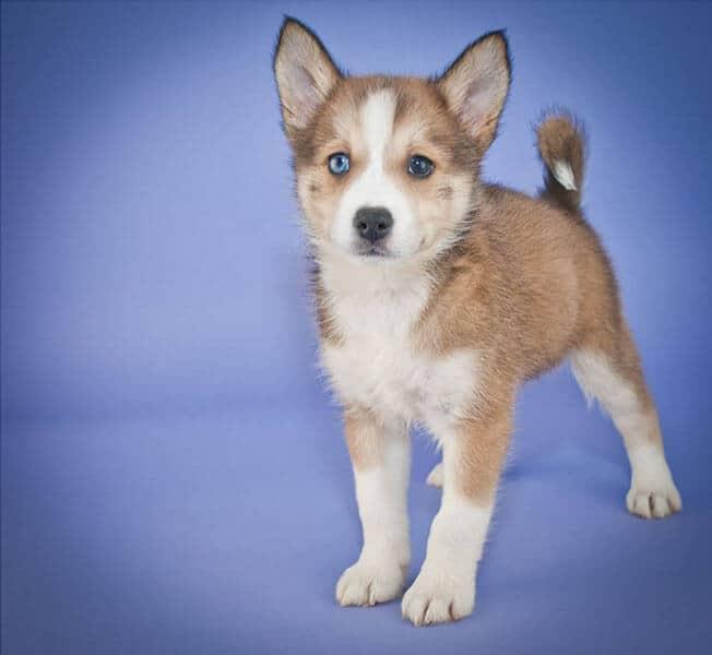 Pomsky cute puppy