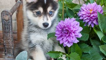 Pomsky Price - How Much Does It Cost To Own A Pomsky?