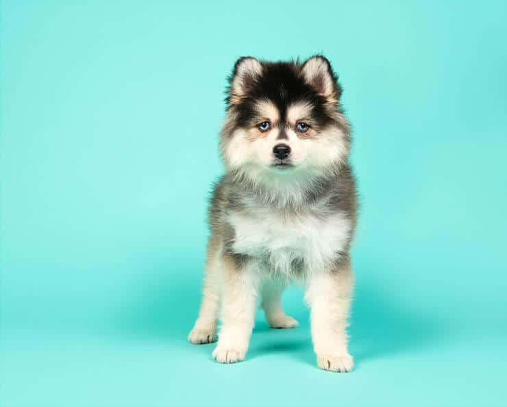 What is the cost to own a Pomsky
