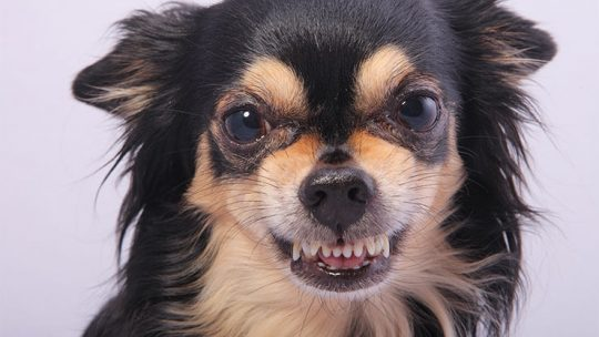 Why are Chihuahuas aggressive