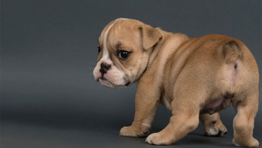 Are English Bulldogs born with tails or docked