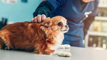 Chihuahua owner's guide to seizure disorders