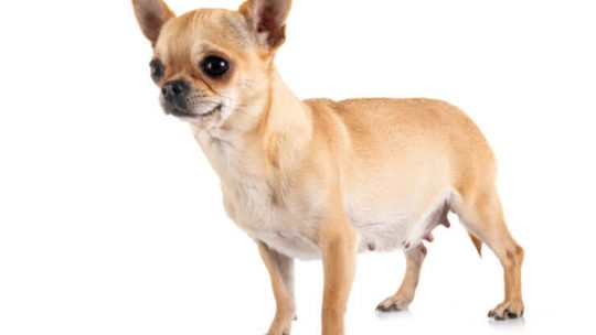 How long is a Chihuahua pregnant for