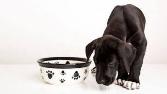 How much to feed a Great Dane puppy