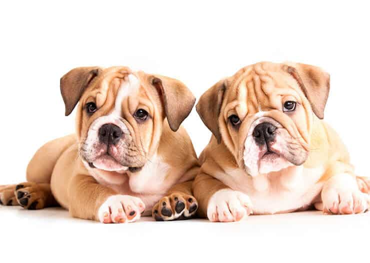 How much will an English Bulldog puppy cost