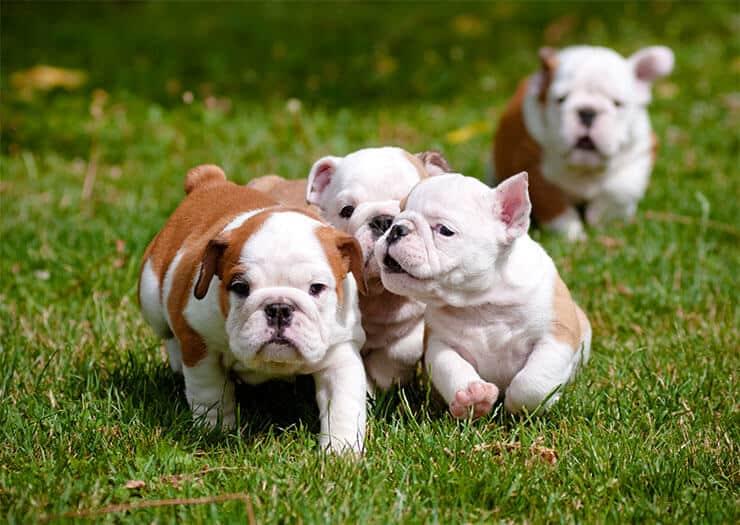 How to choose a good English Bulldog breeder