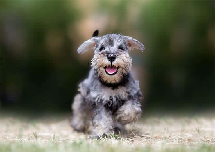 Miniature Schnauzer temperament