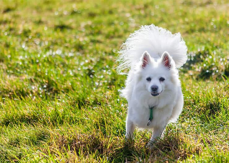 Pomeranian exercise requirements