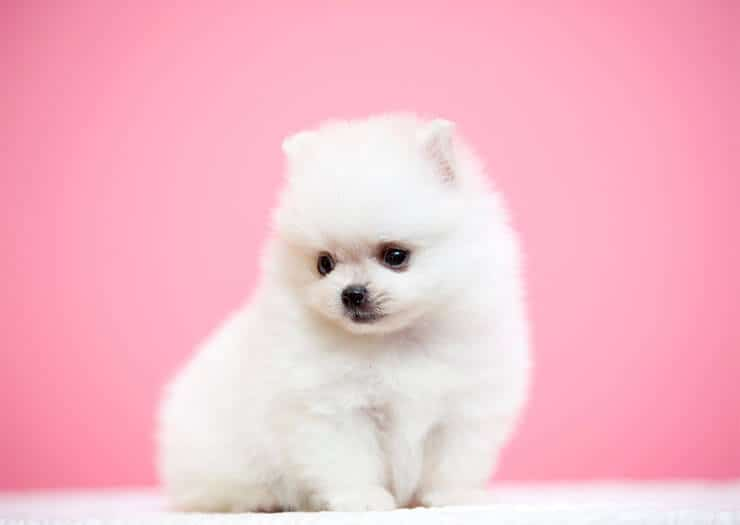 Pomeranian size and look