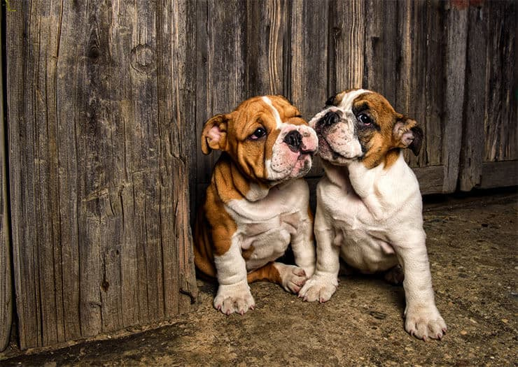 What about the English Bulldog puppy