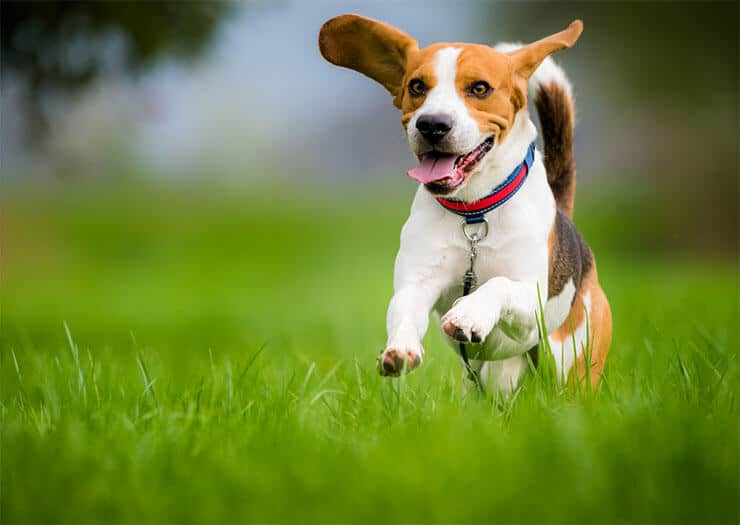 What is a healthy beagle weight