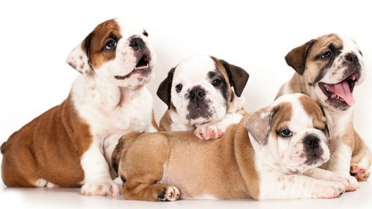 What to look for when buying an English Bulldog