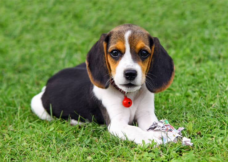 When will a beagle stop growing
