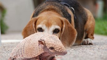 Are armadillos dangerous to dogs