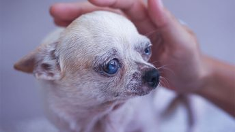 Caring for your senior Chihuahua