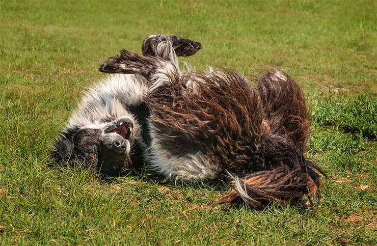 Dirty dog roll on the grass