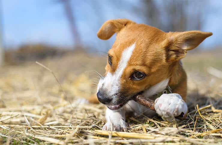 Dog chews a stick