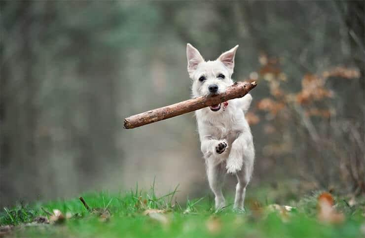 Dogs having sticks create medical concerns