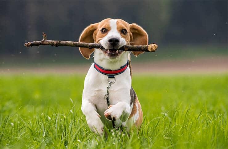 Dogs like the taste of sticks