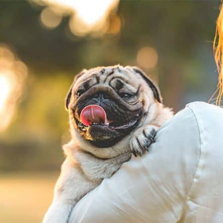 How do I know my Pug is happy