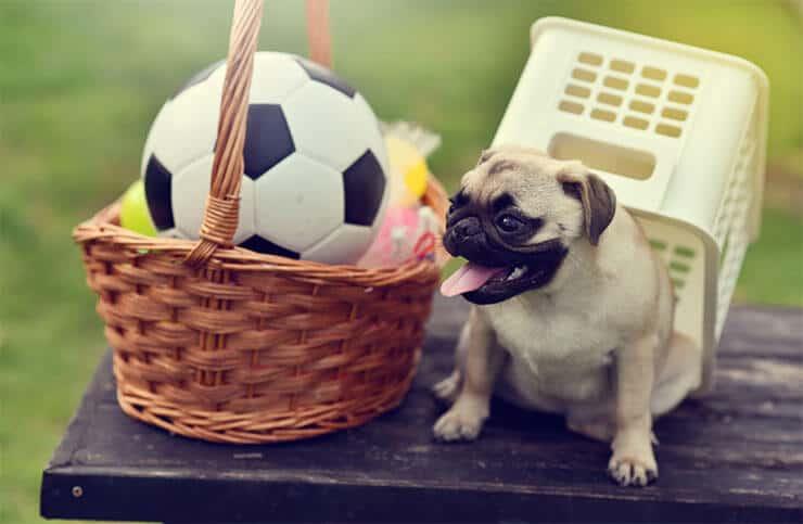 Pug enjoys play