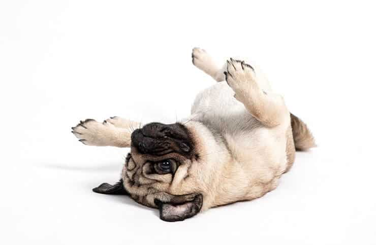 Pug with a relaxed body