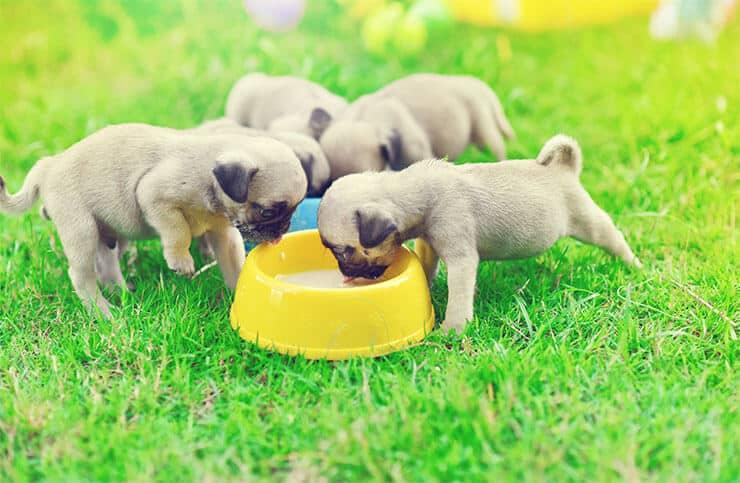 Pugs love to eat