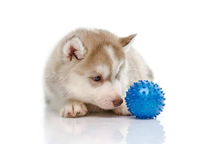 Siberian Husky exercise requirements