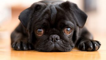 Why are Pugs so expensive